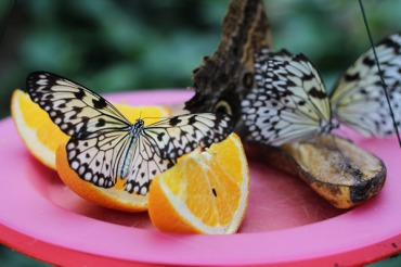 Butterflies enjoying sweet fruit juice.