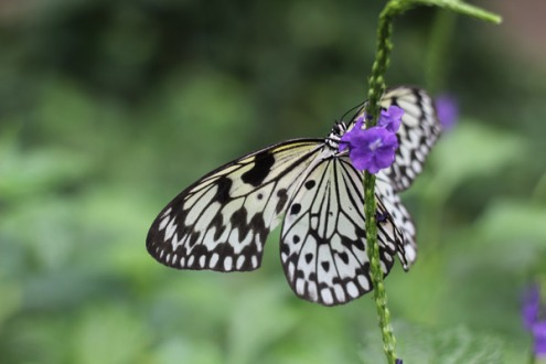 Rice Paper butterfly on a tropical plant.