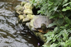 One of the turtles who lives in the indoor pond.