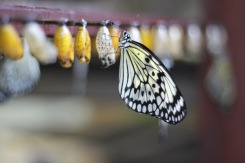Rice Paper butterfly just emerged & drying off it's wings.