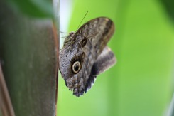The Owl Butterfly has clever camouflage.