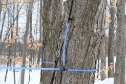 Modern technique of tree sap collection.
