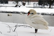 The Swans have a particular spot where they like to hang out on the Avon River.