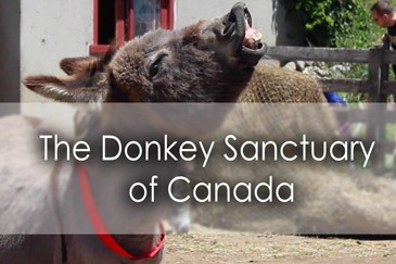 The Donkey Sanctuary of Canada in Guelph - Lets Discover ON Travel Blog