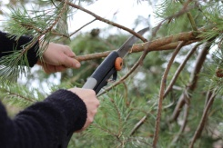 ON-Nature-Scots-Pine-Wreath---handsaw-tree-branches---Lets-Discover-ON