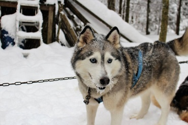 Winter-fun-with-Lets-Discover-ON-dogsledding--single-dog