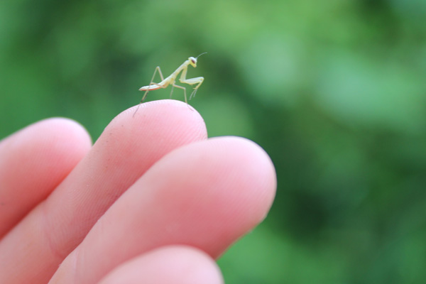 Learn-to-Camp-baby-mantis--Lets-Discover-ON