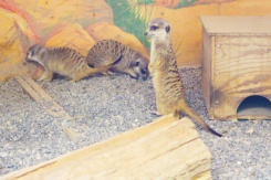 Riverview-Park-Zoo-meerkats-Lets-Discover-ON